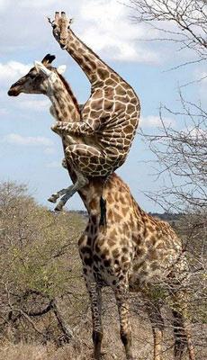 长颈鹿也能玩这招_动物图片
