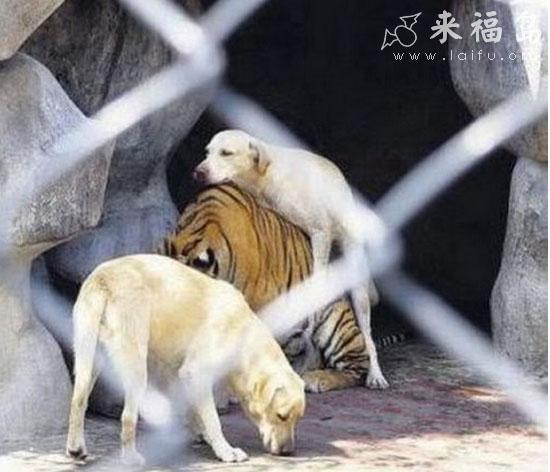"""虎落平阳被犬欺全文_完美诠释""""虎落平阳被犬欺"""" - 搞笑图片盒子"""