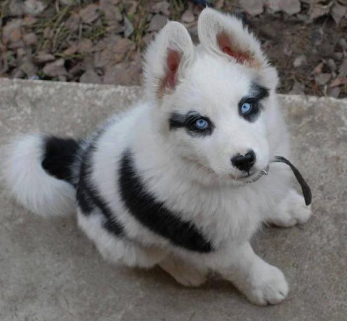 狗狗变成九尾狐了_动物图片