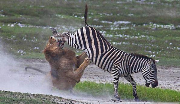 狮口逃生_动物图片_来福岛爆笑娱乐网