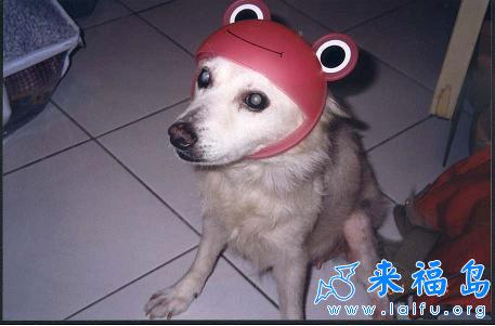 小狗的安全帽_动物图片