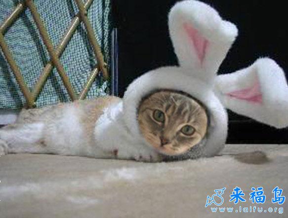 被当成兔子养的猫_动物图片